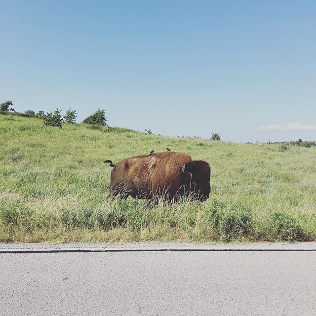 Got up close and personal with a bison that wanted to cross the road.